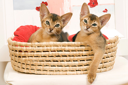 CAT 03 JE0237 01 © Kimball Stock Two Abyssinian Kittens Laying In Basket