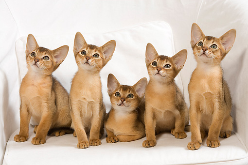 CAT 03 JE0239 01 © Kimball Stock Five Abyssinian Kittens Sitting On White Armchair
