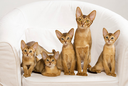 CAT 03 JE0240 01 © Kimball Stock Four Abyssinian Kittens And Adult Sitting On White Armchair