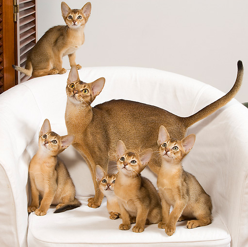 CAT 03 JE0241 01 © Kimball Stock Five Abyssinian Kittens And Adult On White Armchair