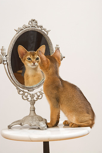 CAT 03 JE0242 01 © Kimball Stock Abyssinian Kitten Sitting On Table Looking Into Mirror