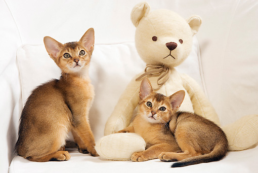 CAT 03 JE0243 01 © Kimball Stock Two Abyssinian Kittens Sitting On White Armchair With Teddy Bear