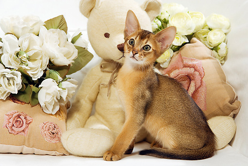CAT 03 JE0246 01 © Kimball Stock Abyssinian Kitten Sitting By Teddy Bear And White Roses