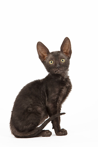 CAT 03 JE0248 01 © Kimball Stock Cornish Rex Kitten Sitting On White Seamless