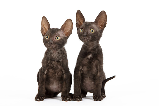 CAT 03 JE0249 01 © Kimball Stock Two Cornish Rex Kittens Sitting On White Seamless
