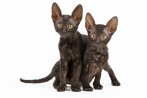 CAT 03 JE0250 01 © Kimball Stock Two Cornish Rex Kittens On White Seamless