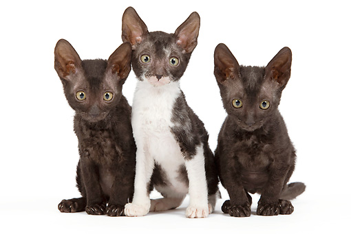 CAT 03 JE0251 01 © Kimball Stock Three Cornish Rex Kittens Sitting On White Seamless