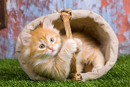 CAT 03 JE0255 01 © Kimball Stock Orange Siberian Kitten Laying In Tipped Basket On Grass
