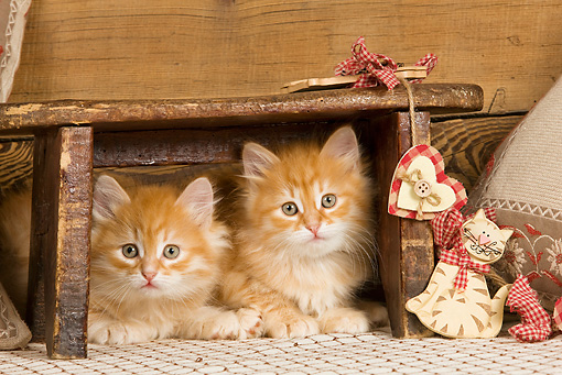 CAT 03 JE0266 01 © Kimball Stock Two Orange Siberian Kittens Laying Under Wooden Stool