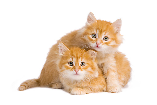 CAT 03 JE0272 01 © Kimball Stock Two Orange Siberian Kittens Playing On White Seamless