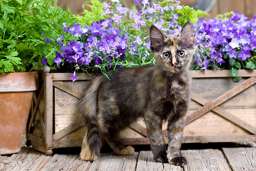 CAT 03 JE0279 01 © Kimball Stock Calico Turkish Angora Kitten Standing On Deck By Purple Flowers