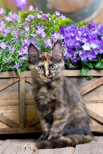 CAT 03 JE0280 01 © Kimball Stock Calico Turkish Angora Kitten Sitting On Deck By Purple Flowers