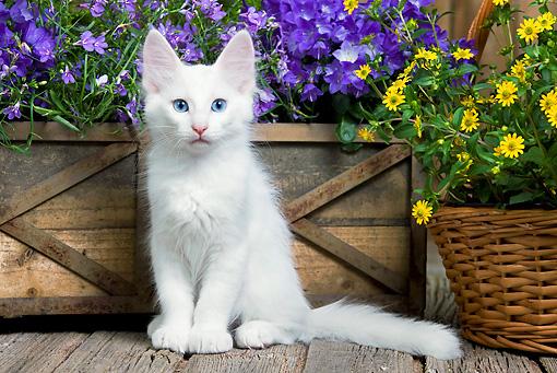 9606443cd7 White Turkish Angora Kitten Sitting On Deck By Flowers