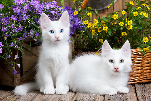 CAT 03 JE0291 01 © Kimball Stock Two Turkish Angora Kittens On Deck By Flowers
