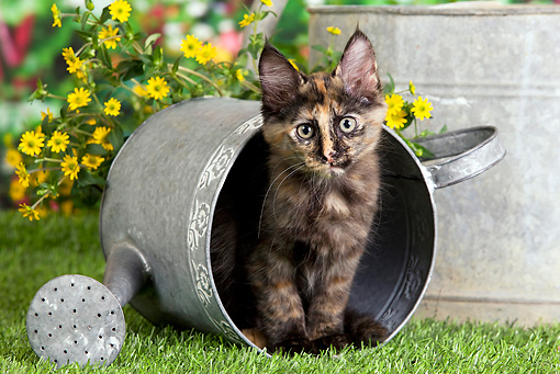 CAT 03 JE0295 01 © Kimball Stock Calico Turkish Angora Kitten Sitting In Watering Can In Garden