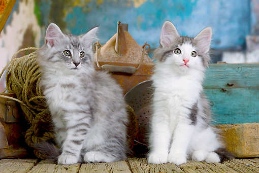 CAT 03 JE0297 01 © Kimball Stock Two Norwegian Forest Kittens Sitting By Rope, Tin Can And Box