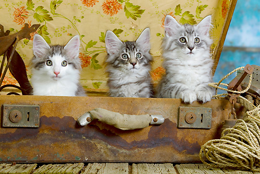 CAT 03 JE0299 01 © Kimball Stock Three Norwegian Forest Kittens Sitting In Suitcase