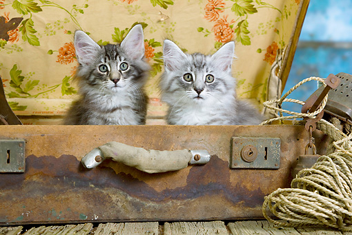 CAT 03 JE0301 01 © Kimball Stock Two Norwegian Forest Kittens Sitting In Suitcase