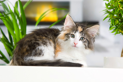 CAT 03 JE0305 01 © Kimball Stock Calico Norwegian Forest Kitten Laying By Fireplace And Plants