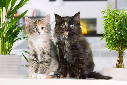 CAT 03 JE0306 01 © Kimball Stock Two Norwegian Forest Kittens Sitting By Fireplace And Plants
