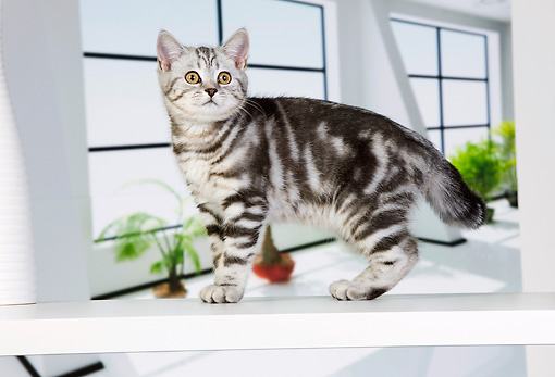 CAT 03 JE0311 01 © Kimball Stock British Shorthair Kitten Standing Indoors By Plants