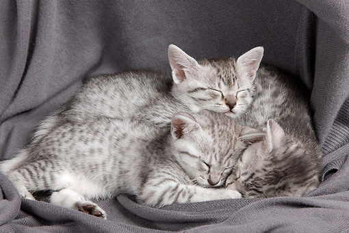 CAT 03 JE0318 01 © Kimball Stock Three Egyptian Mau Kittens Sleeping On Gray Blanket