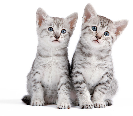 CAT 03 JE0319 01 © Kimball Stock Two Egyptian Mau Kittens Sitting On White Seamless