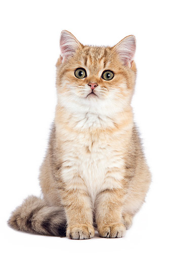 Black And Golden Shaded British Shorthair Kitten Sitting On White