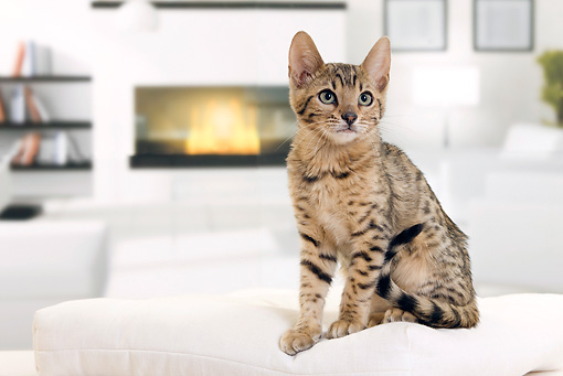 CAT 03 JE0339 01 © Kimball Stock Bengal Kitten Sitting On White Cushion By Fireplace