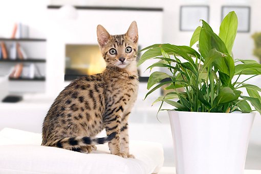 CAT 03 JE0340 01 © Kimball Stock Bengal Kitten Sitting On White Cushion By Potted Plant And Fireplace