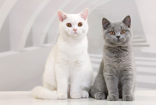 CAT 03 JE0344 01 © Kimball Stock Two British Shorthair Kittens Sitting In White Room
