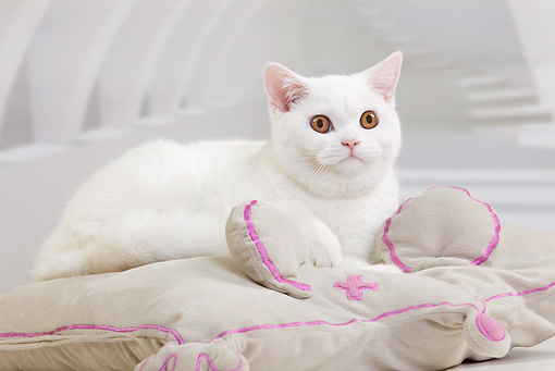 CAT 03 JE0345 01 © Kimball Stock White British Shorthair Kitten Laying On Mouse Pillow