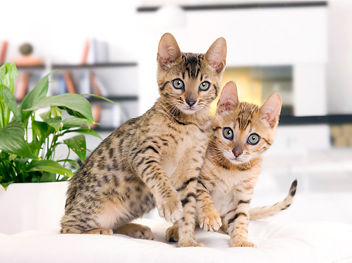 CAT 03 JE0346 01 © Kimball Stock Two Bengal Kittens Sitting On White Cushion