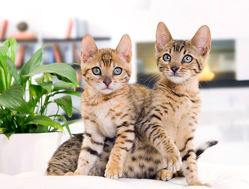 CAT 03 JE0347 01 © Kimball Stock Two Bengal Kittens Sitting On White Cushion
