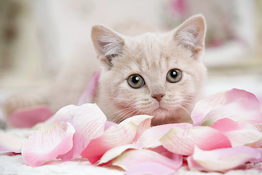 CAT 03 JE0369 01 © Kimball Stock British Shorthair Kitten Laying In Pink Rose Petals