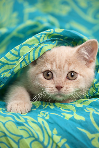 CAT 03 JE0370 01 © Kimball Stock British Shorthair Kitten Laying Under Blue And Green Blanket