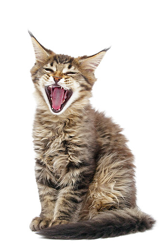CAT 03 JE0377 01 © Kimball Stock Maine Coon Kitten Yawning On White Seamless