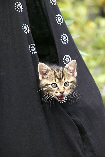 CAT 03 JE0383 01 © Kimball Stock Brown Tabby Kitten In Black Sack