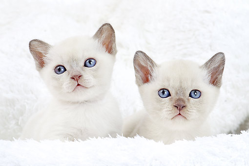 CAT 03 JE0384 01 © Kimball Stock Two Tonkinese Lilac Kittens Laying On White Blanket