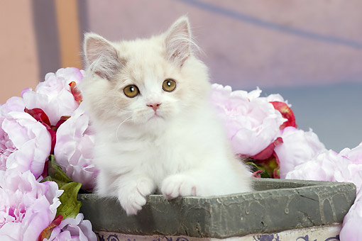 CAT 03 JE0388 01 © Kimball Stock British Longhair Kitten Sitting In Flower Pot By Pink Peonies