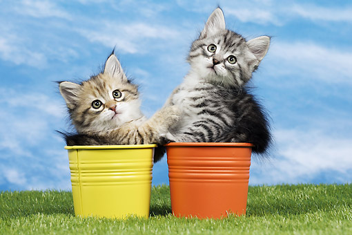CAT 03 JE0390 01 © Kimball Stock Two Siberian Kittens Sitting In Yellow And Orange Buckets On Grass