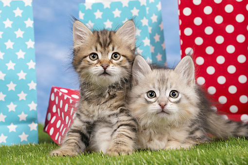 CAT 03 JE0394 01 © Kimball Stock Two Siberian Kittens Laying On Grass By Gift Bags