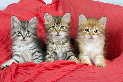 CAT 03 JE0397 01 © Kimball Stock Three Siberian Kittens Laying On Red Cushion