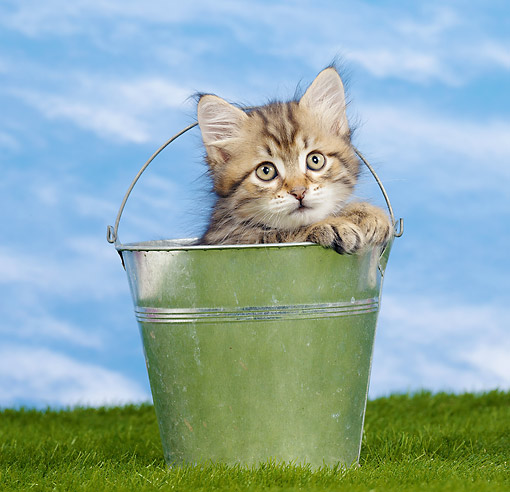 CAT 03 JE0398 01 © Kimball Stock Siberian Kitten Sitting In Metal Bucket On Grass