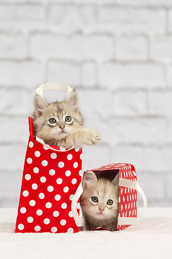 CAT 03 JE0405 01 © Kimball Stock Two Siberian Kittens Playing In Red Polka Dot Gift Bags