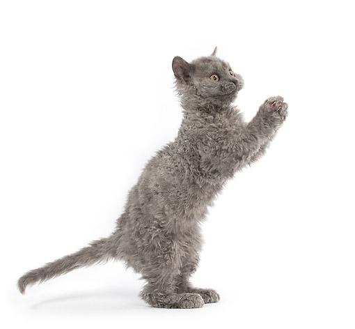 CAT 03 JE0406 01 © Kimball Stock Selkirk Rex Kitten Standing On Hind Legs On White Seamless