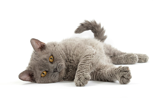 CAT 03 JE0408 01 © Kimball Stock Selkirk Rex Kitten Laying On White Seamless