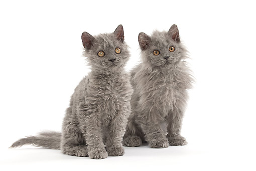 CAT 03 JE0409 01 © Kimball Stock Two Selkirk Rex Kittens Sitting On White Seamless