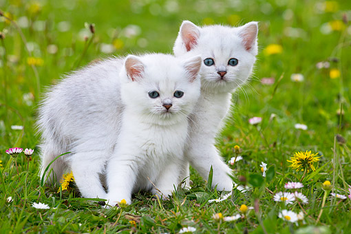 CAT 03 JE0412 01 © Kimball Stock Two White British Kittens Exploring Together In Grass