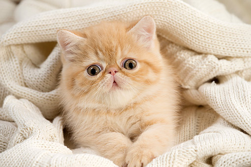 CAT 03 JE0422 01 © Kimball Stock Exotic Shorthair Kitten Laying In Blanket